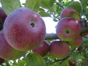 apple picking jobs tasmania